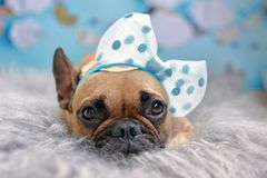 Cute fawn French Bulldog dog with big ribbon on head lying on fur blanked stock photo