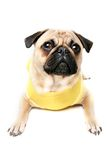 Cute fawn pug dog Royalty Free Stock Images