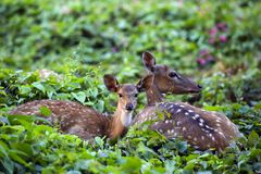 Cute fawn resting with mother deer Stock Photography