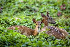 Cute fawn resting with mother deer stock photo