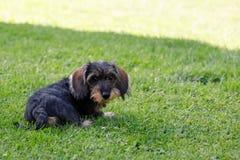 Cute female of brown dachshund Royalty Free Stock Photos