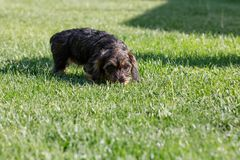 Cute female of brown dachshund Royalty Free Stock Image