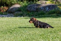Cute female of brown dachshund Stock Image