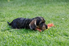 Cute female of brown dachshund Royalty Free Stock Photography