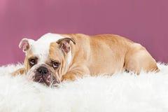 Cute Female Bulldog Laying on Fur Blanket stock image