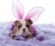 Cute female bulldog Royalty Free Stock Photos