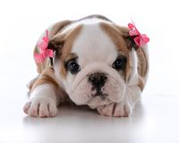 cute female puppy Stock Photo