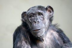Female chimpanzee portrait. A cute Female chimpanzee portrait stock photography