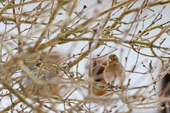 Cute female Common Chaffinch on a tree in Europe Stock Photography