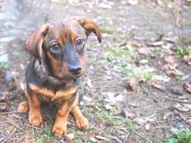 Cute Female Crossbreed Puppy. Cute Female cross Breed Puppy looking in to the camera. It is sitting outdoor royalty free stock images