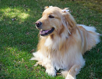 Cute Female Dog with Bows. A young female golden retriever with bows in her hair rests in the summer sun royalty free stock images