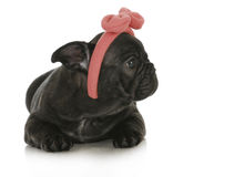 Cute female french bulldog Royalty Free Stock Photos