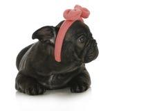 Cute female french bulldog Royalty Free Stock Photos