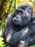 Cute female gorilla in natural habitat, Uganda, Africa. Cute female gorilla in natural habitat, Uganda, Africa stock photos