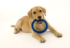 Cute Female Labrador Pup. With blue ring Royalty Free Stock Images