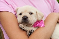 Cute female labrador puppy dog lying in young girl arms. Best friends dressed alike, wearing pink, close up royalty free stock photo