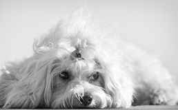 A cute female maltese dog. In black and white Stock Photography