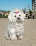 A cute female maltese dog. Outdoors Royalty Free Stock Photos