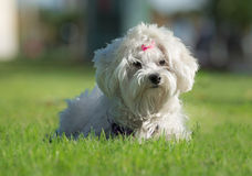 A cute female maltese dog. In a park Stock Photo
