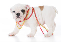 Cute female puppy Royalty Free Stock Photos