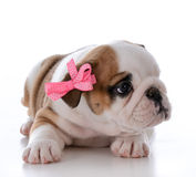 cute female puppy Royalty Free Stock Photo