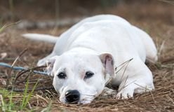 Cute female white Pit Bull Terrier dog laying down wagging tail. Unspayed white female Pitbull Terrier bulldog on leash outdoors. Pet adoption animal rescue royalty free stock image