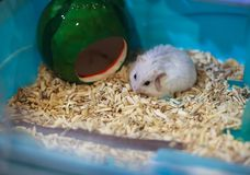Cute female Winter White Dwarf Hamster scratching and grooming its fur, motion. Winter White Hamster is also known as Winter White. Dwarf, Djungarian or royalty free stock photo