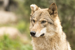 Cute female wolf with cut ear. Stock Photography
