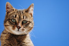 Cute Feral cat. Animal feral cat pose and blue sky Royalty Free Stock Photo