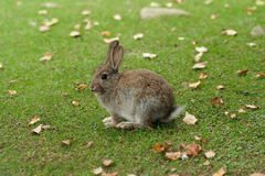 Cute feral rabbit. A cute young rabbit on green autumn grass Royalty Free Stock Image