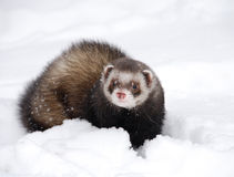 Cute ferret Stock Photos