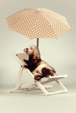 Cute ferret boy portrait on beach chair in studio. Ferret portrait on beach chair in studio Stock Photos