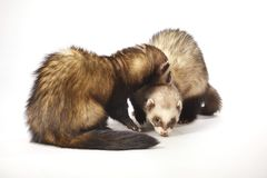 Cute ferret couple of standard color in studio stock images