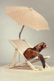 Cute ferret female portrait on beach chair in studio. Ferret portrait on beach chair in studio Stock Images