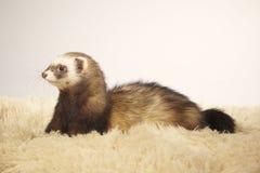 Cute ferret female of standard color in studio stock photography