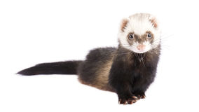 Cute ferret isolated on white Royalty Free Stock Photography