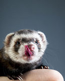 Cute ferret licking Stock Image