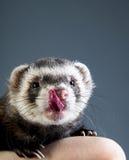 Cute ferret licking Stock Image
