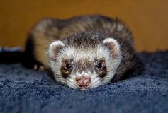 Cute ferret looking at camera. Sleepy sable ferret (Mustela putorius furo) looking at camera, top view Royalty Free Stock Photography