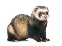 Cute Ferret Stock Photos