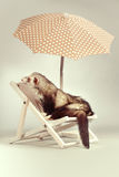 Cute ferret portrait on beach chair in studio. Ferret portrait on beach chair in studio Royalty Free Stock Photo