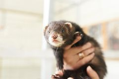 Cute ferret sitting on his hands, sticking his tongue out. For any purpose royalty free stock photography