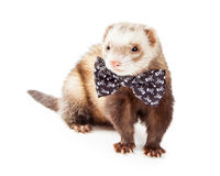 Cute Ferret Wearing Funny Bow Tie Stock Photo