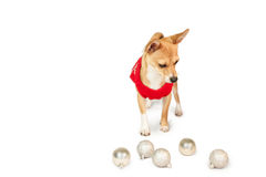 Cute festive dog with baubles Stock Image