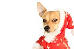 Cute festive dog in christmas jacket Stock Photos