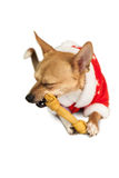 Cute festive dog in christmas jacket Royalty Free Stock Images