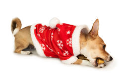 Cute festive dog in christmas jacket Royalty Free Stock Image