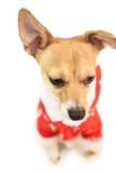 Cute festive dog in christmas jacket Stock Photo