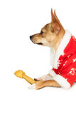 Cute festive dog in christmas jacket Stock Image