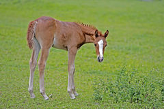 Cute Filly at summer pasture Stock Photo